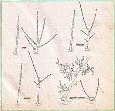 Szijj Ferenc ... Kertészeti praktikák - metszés alapelvei