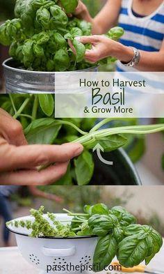 Basil Gardening tips