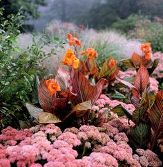 Tropicanna cannas with pink sedum blooms
