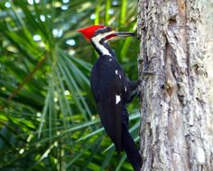 Pileated Woodpecker, White City park