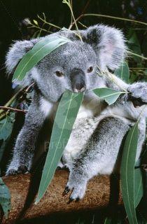 Delicious Eucalyptus.