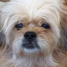 My Peekapoo, Omie. Now years old. Peek A Poo, Pet Dogs, Pets, Little Man, Dog Photos, Dog Breeds, Animals, Animales, Animaux