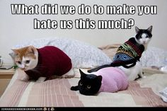 Why Do You Hate Us?  These cats don't appear to like their fashion looks #humor #cats