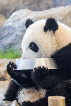 優浜 (ゆうひん) Yuhin, female giant panda drinking milk (Born in 2012 at Shirahama Adventure World, Wakayama, Japan)