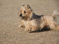 CAIRN TERRIER, looks just like my girl!