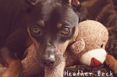 My min pin and her toy monkey.