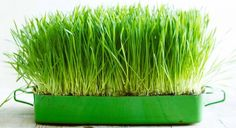 Wheatgrass Benefits