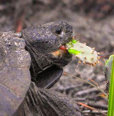 Gopher Tortoise snacking on Opuntia ( Nopales ) cactus at Smyrna Dunes Park by Andrea Westmoreland, via Flickr.     Tortoises do eat opuntias!