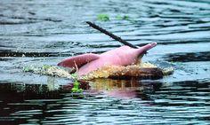 Delfín Rosado - Iquitos, Perú