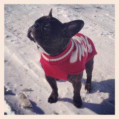 French Bulldog, Cappuccino enjoying the winter air