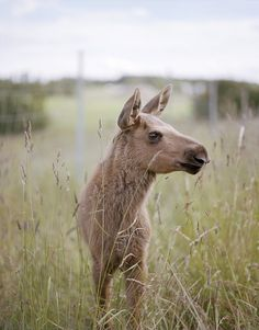 a baby / calf moose. taken by chopchops / bobobviously. Wild Creatures, Cute Creatures, Beautiful Creatures, Animals And Pets, Baby Animals, Cute Animals, Wild Animals, Beautiful Horses, Animals Beautiful