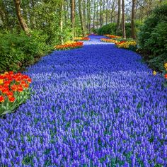 This is a spectacular garden located in South Holland. About 7 million bulbs are planted here each year.Check this Awesome DIY idea for Your Garden. Make your garden like Holland's Largest Flowers Garden Bursts with 7 Million Colorful Blooms. Bulb Flowers, Large Flowers, Colorful Flowers, Tulips Garden, Daffodils, Most Beautiful Gardens, Beautiful Flowers, Japanese Park, Flower Garden Pictures