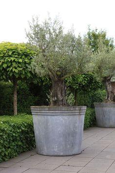 Grote betonnen pot met oude olijfboom http://www.biesot.nl
