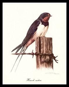 BARN SWALLOW Vintage Dutch French Illustration Print CARL BRENDERS