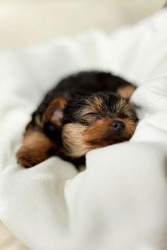 Yorkie | Best Little Dogs | Cute | Love | Spunky | Loyal | Yorkshire Terrier| Puppy | So sweet