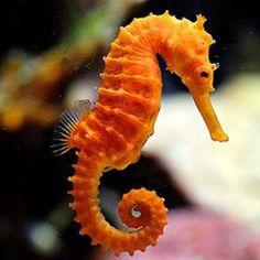 dark orange for seahorse Underwater Animals, Underwater Creatures, Beautiful Sea Creatures, Animals Beautiful, Sea Dragon, Sea Art, Beautiful Fish, Exotic Fish, Tier Fotos