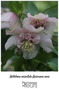 Vous craquerez sur la teinte rose pourprée profond et les froufrous de cet hellébore. Un enchantement au cœur de l'hiver !
