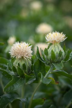 Carthamus tinctorius, 'Shiro' Seeds £1.95 from Chiltern Seeds - Chiltern Seeds Secure Online Seed Catalogue and Shop