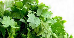 Koriandr odstraňuje z těla až 80% těžkých kovů: Vyčistěte své tělo do 42 dnů Growing Coriander, Coriander Cilantro, Coriander Leaves, Coriander Seeds, Cilantro Plant, Cilantro Growing, Cilantro Chutney, Fresh Coriander, Medicinal Plants