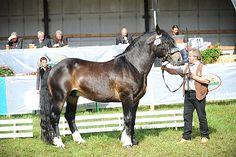 Noriker stallion Williams Nero XIV