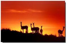Lhama, Alpaca ou Vicunha.....