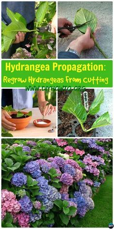 Hydrangea Propagation Regrow Hydrangea From Cutting: Growing Your own hydrangeas from cutting stems. best site I've found for propagating.Hydrangea Propagation Regrow Hortensie vom Schneiden: G .Dip cuttings in rooting hormone (this is entirely optio Growing Flowers, Growing Plants, Planting Flowers, Growing Hydrangea, Flowers Garden, Outdoor Plants, Garden Plants, Shade Garden, Hosta Plants