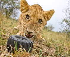 Brothers William and Matthew Burrard-Lucas get up close to lions  in Masai Mara, Kenya, with BeetleCam,  their homemade remote controlled camera