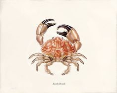 Antique Crab Art Print 8x10 Xanthe Dentale by 1001treasures, $12.00