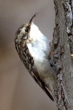 """Brown Creeper / Certhia Americana - Brown Creepers are tiny 5"""" long woodland birds with an affinity for the biggest trees they can find. Look for these little, long-tailed brown and white birds spiraling up stout trunks and main branches."""