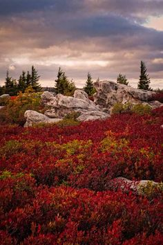 """""""Turle Rock among the blueberry bushes that have turned their dark red fall color - Dolly Sods, West Virginia"""" by Images of Wildlife on Flickr ~ Autumn in Dolly Sods, West Virginia"""