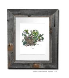 Antique Bird Nest Print no. 2 Catbird Nest by GnosisPictureArchive, $10.00