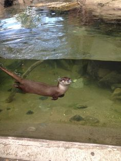 Otter swims underwater past a display window - March 16, 2013