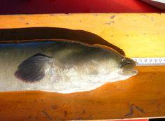 Face of lingfin eel source: NIWA