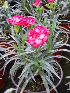 Dianthus caryophyllus v 1