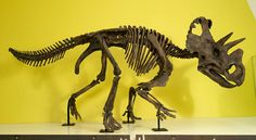 A reconstruction of the dinosaur's skeleton (Wendiceratops).  Everything Dinosaur's palaeontology predictions for 2015 reviewed.