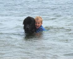 Is it a duck…or a dog? The Newfoundland breed has a water resistant coat and webbed feet. This #dog was bred to help haul nets for fishermen and rescuing people at risk of drowning.