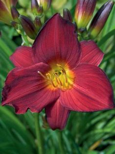 Hemerocallis Stella in Red (Daylily) Stella means 'Star' and this ruby red variety of the much-loved classic yellow Stella D'Oro will be as sought after as its sibling. The bright blossoms will continually bloom all summer with a soft fragrance. Hemerocallis Stella in Red, a diploid, will adapt to a wide range of growing conditions. Very drought tolerant once established. Learn more at: https://www.bluestoneperennials.com/HSTRE.html #RubyReds