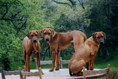 My new favorite thing: Rhodesian Ridgebacks