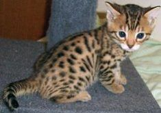 Savannah Cat For Sale San Diego Bengal Kitten Kittens Cutest Cats And Kittens
