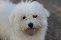 Coton de Tulear puppy!