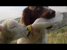 Jess the English Springer Spaniel Feeding an Orphaned Lamb a Bottle