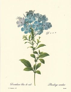 Blue Plumbago, a Pierre Redoute botanical print,  -this is a good source for printable botanical art, vintage illustrations, maps, and digital supplies.