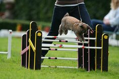 Na Suécia, existe uma competição chamada Kaninhoppning, ou show de coelhos saltitantes.