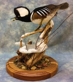 Hooded merganser table mount with awesome ice and stream habitat. Taxidermy Decor, Taxidermy Display, Bird Taxidermy, Duck Hunting Gear, Waterfowl Hunting, Bow Hunting, Wildlife Decor, Wildlife Art, Duck Mount