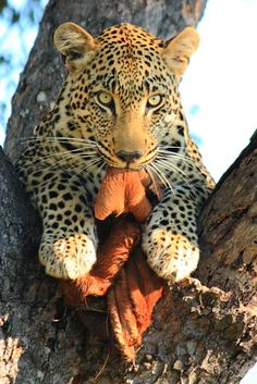 Leopard, treed with a snack.  Motswari Game Preserve.