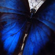 intense royal blue butterfly