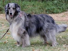 Adopt-a-Shelter-Dog Month: 14 Dogs That Need Homes Like Animals, Animals And Pets, Shelter Dogs, Animal Shelter, Australian Shepherd Mix, Collie Mix, Stop Animal Cruelty, Large Dogs, Big Cats