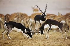 A herd of Blackbuck Antelope, the bucks are always darker than the females (a black or dark brown color rather than tan) thanks to a sex-linked color gene.