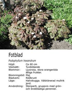 Podophyllum hexandrum - Fotblad How To Dry Basil, Herbs, Food, Herb, Meals, Yemek, Eten