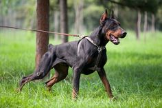 These are 10 impressive and advanced tricks that you can easily teach to a Doberman Pinscher. Here's how to teach these tricks to a Doberman fast. Weimaraner, Big Dogs, Cute Dogs, Aggressive Dog Breeds, European Doberman, Doberman Love, Doberman Pinscher Dog, Dog Runs, Tier Fotos
